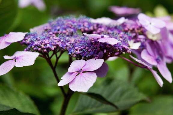 The 'Twist-n-Shout' hydrangea with its blue and purple florets is a stunner.