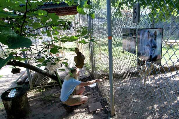 Brittany McDonald, new manager at Saint Francis Wolf Sanctuary, feeds Rajah, a 4-year-old wolfdog, Friday in Montgomery.