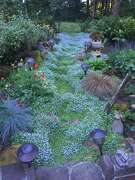 Blue Star Creeper in the garden of Stuart Cox & Richard Gerstl.  Credit: Michael Darcy