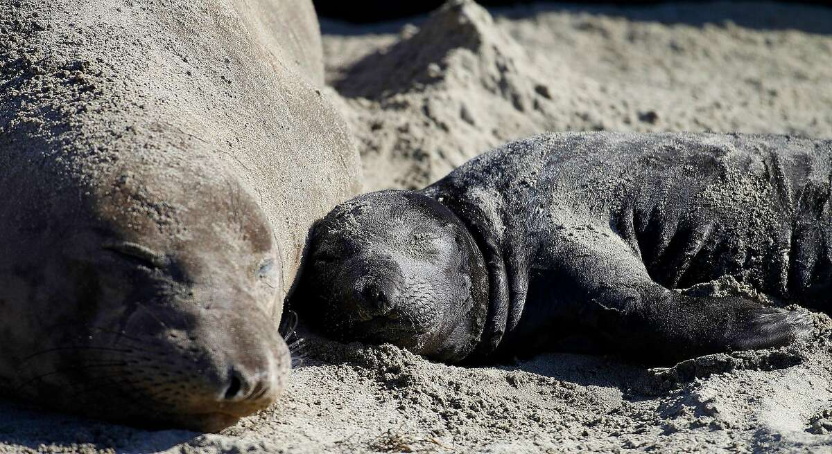 In this Jan. 7, 2015 photo, a northern elephant seal pup rests with its mother along a beach at Ano Nuevo State Park in Pescadero, Calif.