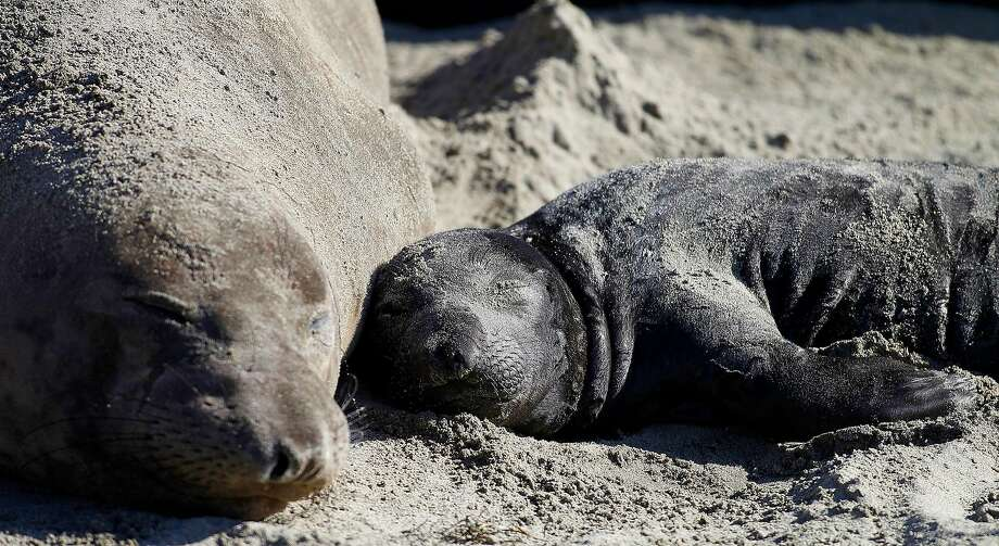 In this Jan. 7, 2015 photo, a northern elephant seal pup rests with its mother along a beach at Ano Nuevo State Park in Pescadero, Calif.  Photo: Aric Crabb, Associated Press