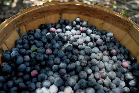 A basket full of blueberries during the opening day at the B&M Farms u-pick blueberry patch on Saturday. The farm is open Monday through Saturday from 8 a.m. to 6 p.m. and Sundays from 1 p.m. to 6 p.m.  Photo taken Saturday 5/28/16 Ryan Pelham/The Enterprise