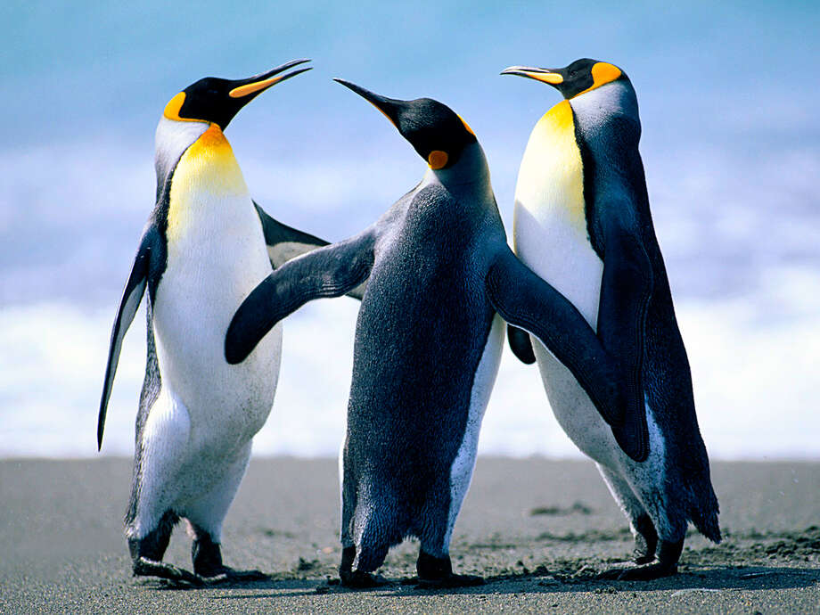 These are 3 penguins in the snow / © Corbis.  All Rights Reserved.