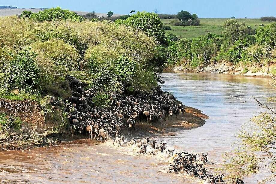 (Photo courtesy of Amanda Subaluskyand Chris Dutton) Wildebeest cross the Mara River Photo: Journal Register Co.