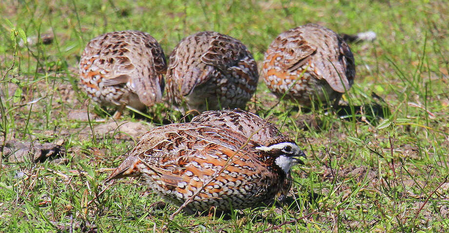 "Heading into the heart of summer, Texas' quail appear to be having an ""average"" year of nesting success after enjoying three consecutive years of above-average habitat conditions that fueled an almost unprecedented population explosion. Photo: Shannon Tompkins/Houston Chronicle"