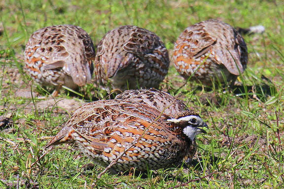 """Heading into the heart of summer, Texas' quail appear to be having an """"average"""" year of nesting success after enjoying three consecutive years of above-average habitat conditions that fueled an almost unprecedented population explosion."""