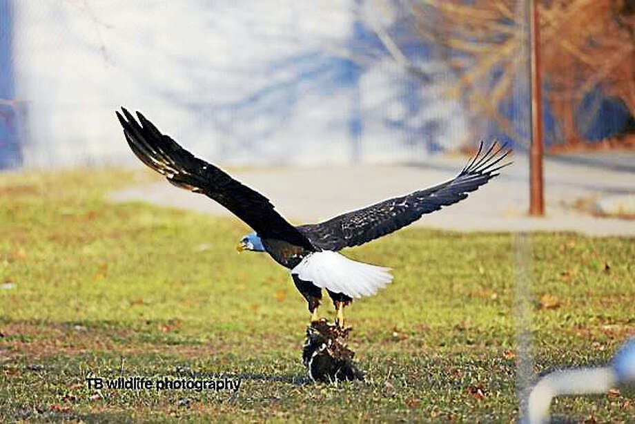 Wildlife photographer, Tai Bui   caught one of the eagles catching a skunk along North Frontage Road in New Haven. Photo: Journal Register Co.