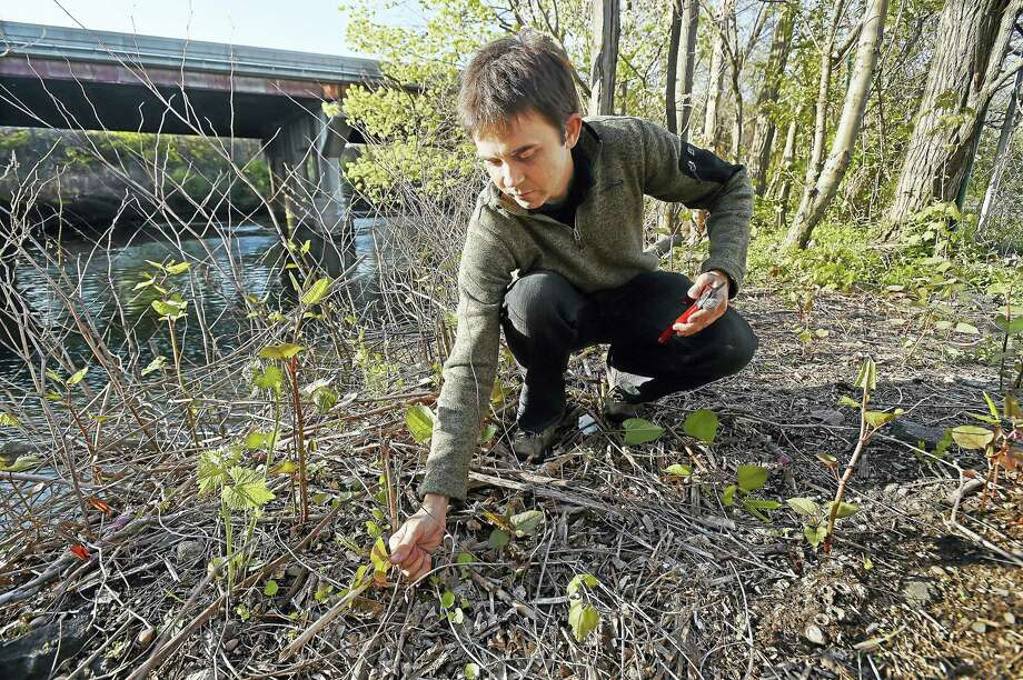 (Catherine Avalone - New Haven Register)   Trailblazer J.R. Logan clears invasive knotweed on the Mill River Trail Wednesday, April 27, 2016, in New Haven. The Mill River Trail is one section of a larger trail system connecting Fair Haven to East Rock Park along the banks of the Mill River. Photo: Journal Register Co. / New Haven RegisterThe Middletown Press