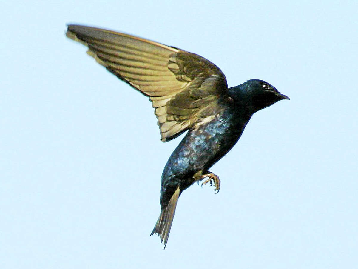 Purple martins will be returning to Milford Coastal Center to nest in man-made birdhouses soon. (Submitted Photo - Connecticut Audubon Society)
