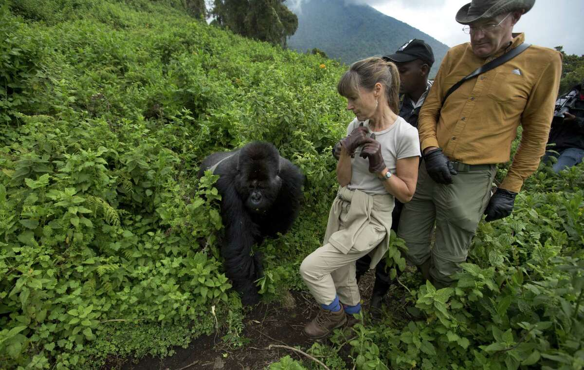 In this photo taken Friday, Sept. 4, 2015, tourists Sarah and John Scott from Worcester, England, take a step back as a male silverback mountain gorilla from the family of mountain gorillas named Amahoro, which means