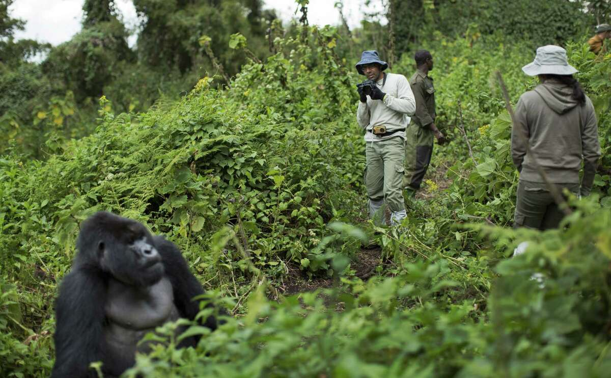 In this photo taken Friday, Sept. 4, 2015, tourist Stephen Fernandez, center-right, takes photos of a male silverback mountain gorilla from the family of mountain gorillas named Amahoro, which means
