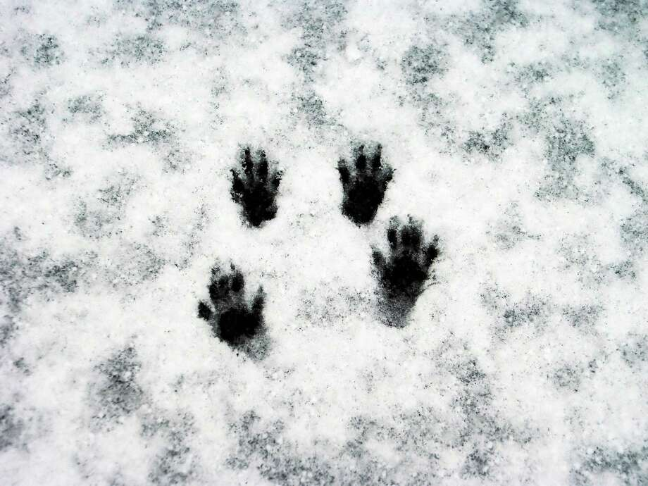 photos.com ¬ Make tracks to the Ansonia Nature Center Saturday afternoon. Photo: Getty Images/iStockphoto / iStockphoto