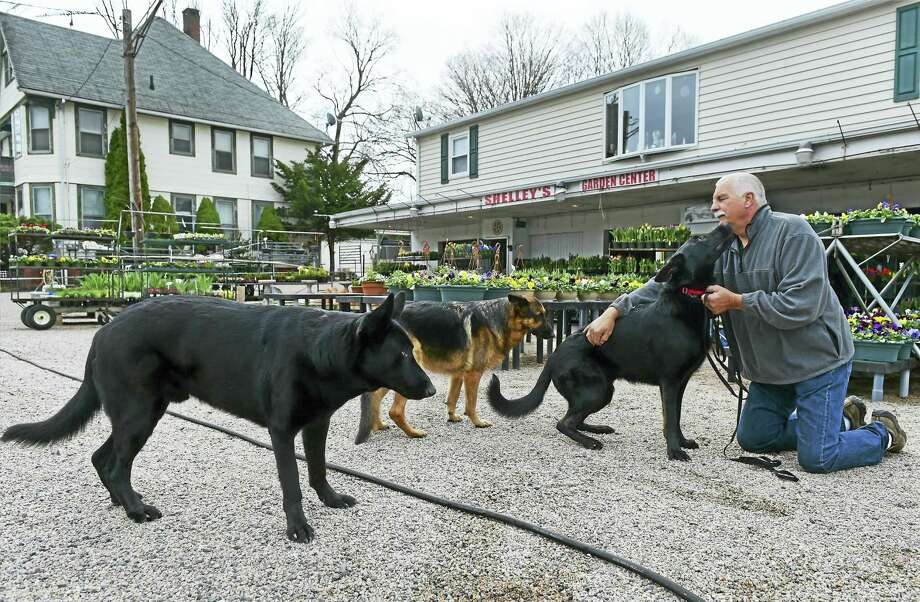 (Peter Hvizdak — New Haven Register) John Chambers, co-owner of Shelley's Garden Center on Main Street in Branford, with a friend's German Shepherd, Remington and his own German Shepherds Jagger, left, and Ivy, center. Photo: ©2016 Peter Hvizdak / ©2016 Peter Hvizdak
