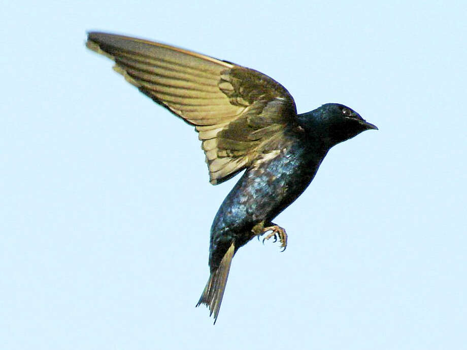 Purple martins will be returning to Milford Coastal Center to nest in man-made birdhouses soon. (Submitted Photo - Connecticut Audubon Society) Photo: Journal Register Co.