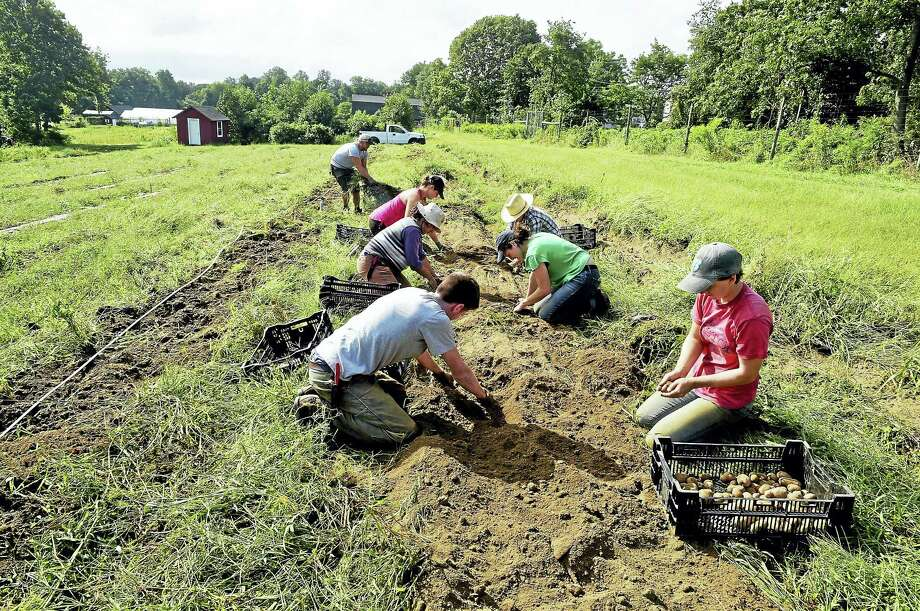 (Peter Hvizdak - New Haven Register)Fulltime seasonal employees at the Massaro Community Farm in Woodbridge harvest potatoes Wednesday September 7, 2016. Photo: ©2016 Peter Hvizdak / ©2016 Peter Hvizdak