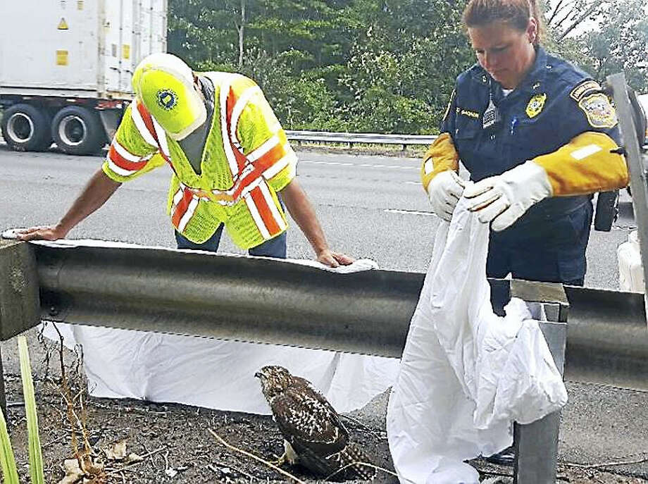 (Photo courtesy of the Connecticut State Police)State troopers, the Department of Transportation and state Environmental Conservation Police helped rescue a hawk found walking Wednesday on Intersate 91 near northbound Exit 21. The bird was turned over to Cromwell Animal Control. Photo: Journal Register Co.