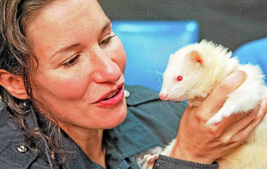 vmWilliams - New Haven Register  Branford animal shelter Director Laura Burban holds an albino ferret during a video livestream with New Haven Register Community Engagement Editor Shahid Abdul-Karim at 40 Sargent Drive November 20. Photo: Journal Register Co.