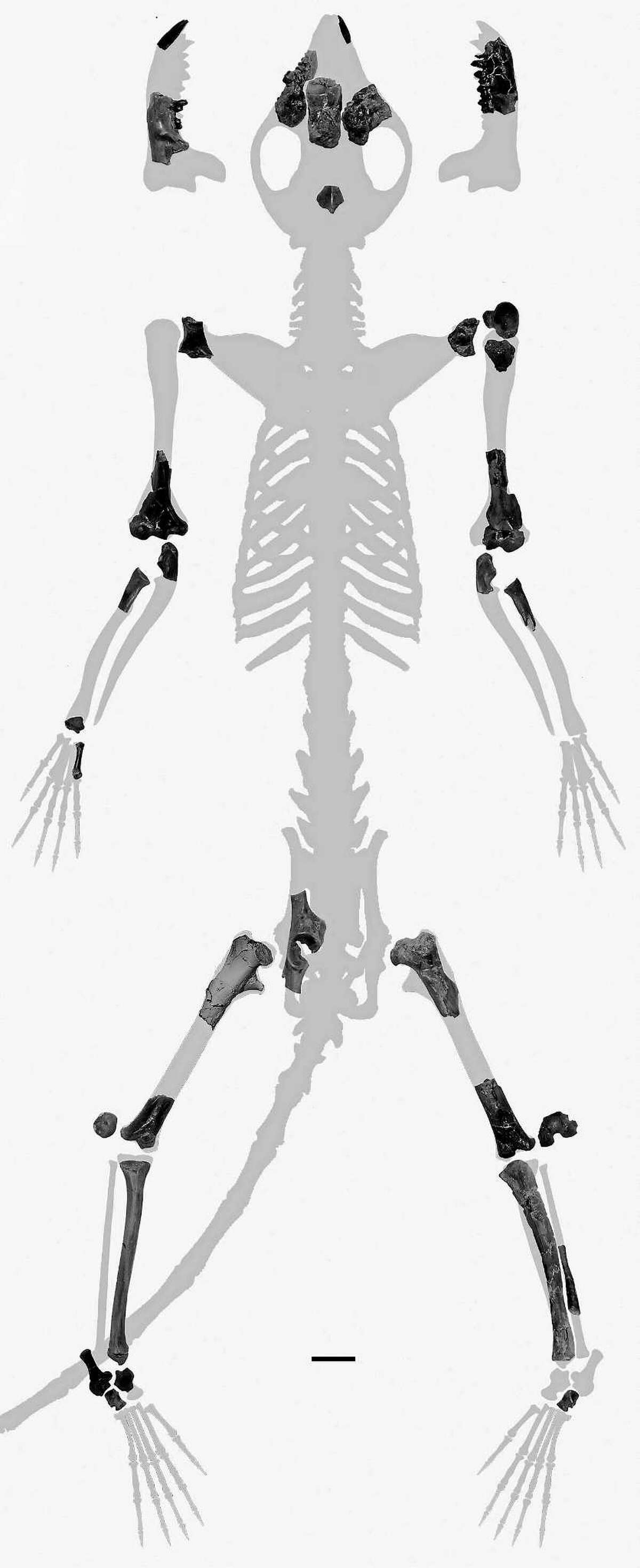 The bones recovered from Torrejonia, considered the first primate.