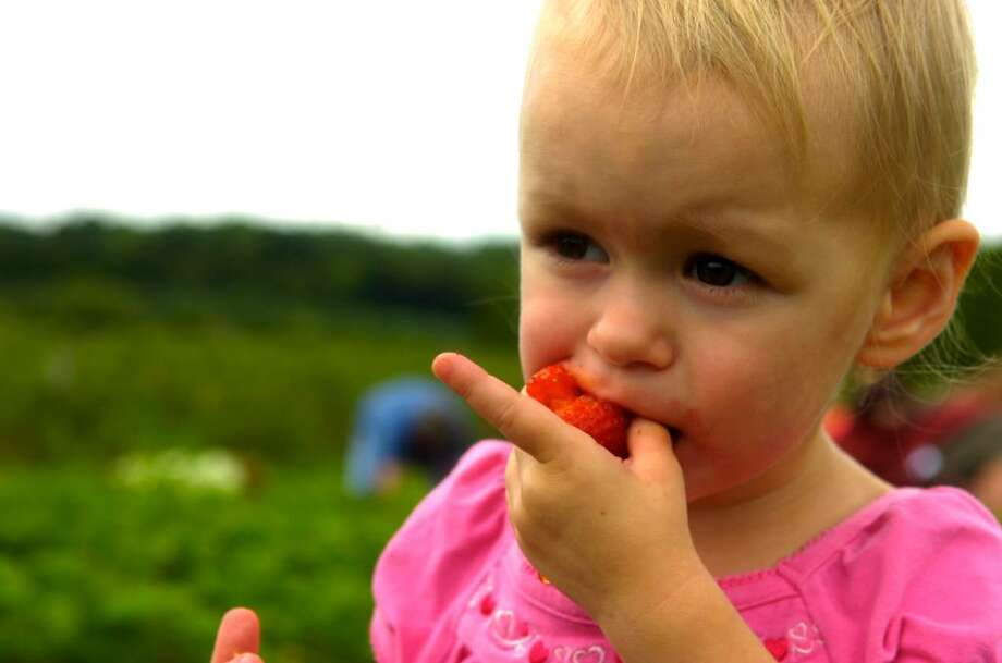 Cheyenne Burgess, 2, of Seymour, enjoys a snack while picking strawberries at Jones Family Farms in Shelton on Friday, June 11, 2010. Photo: Lindsay Niegelberg / Connecticut Post