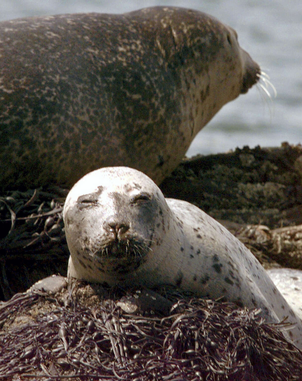 In this file photo, a young harbor seal lounges on top of seaweed that covers partially submerged Cedar Ledge near Cundy's Harbor, Maine. In a statement released Thursday the Greater Atlantic Region of the National Oceanic and Atmospheric Administration Fisheries reminded New England beach-goers to resist any temptation to take a selfie with a cute little seal pup because it can put both people and the animals at risk.