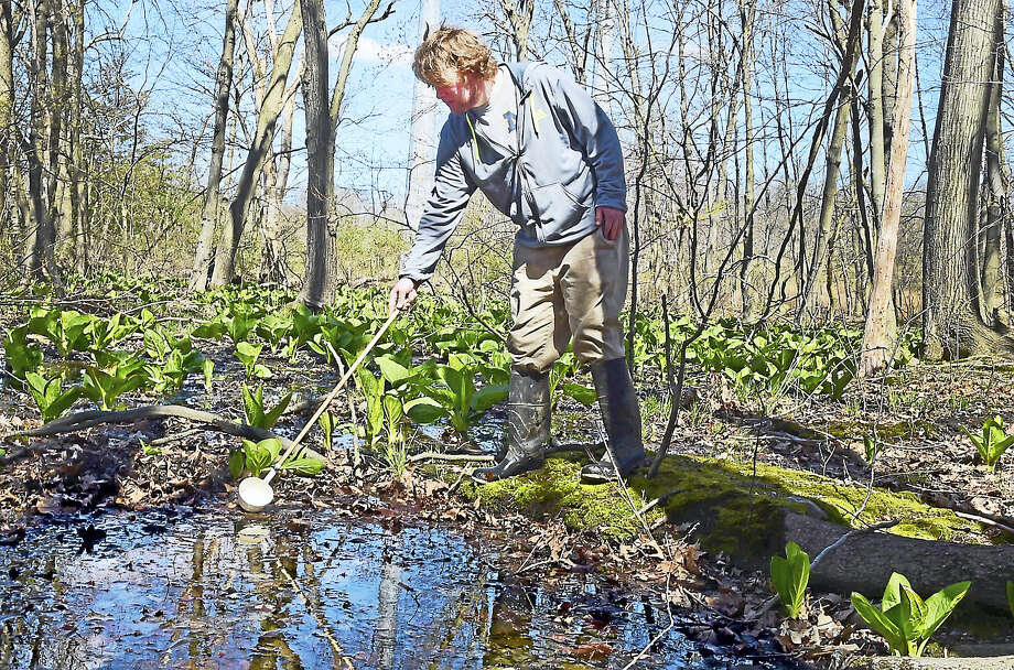 Jonathon Currier, an employee  of All Habitat Services LLC of Branford, scoops water from a rain pool in a flooded swam at Eisenhower Park in Milford in April, looking for mosquito larvae and pupae. Photo: Peter Hvizdak — New Haven Register File Photo   / ©2017 Peter Hvizdak
