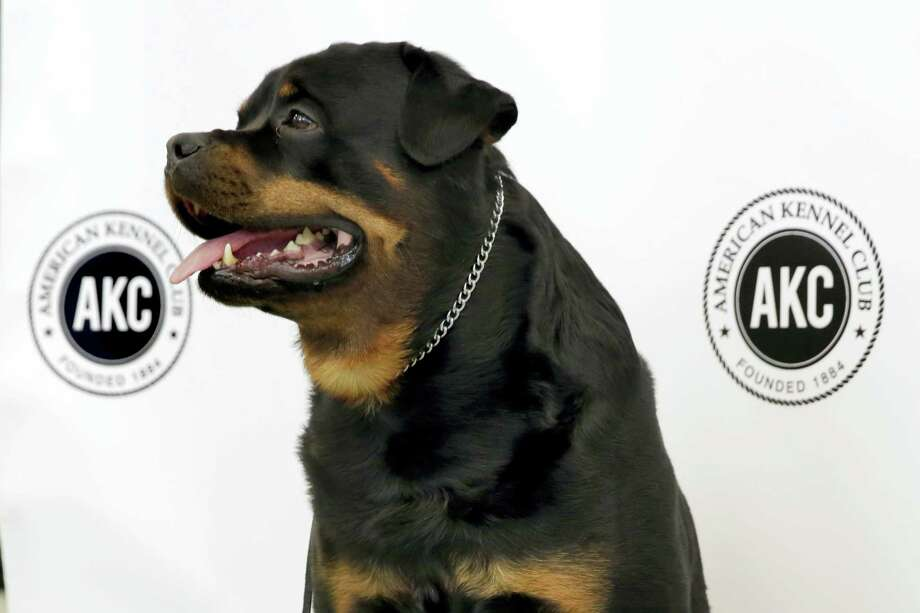 Talos, a Rottweiler, poses for photos as the American Kennel Club's breed rankings are announced, in New York, Tuesday, March 21, 2017. At No. 8, the Rottweiler posted its highest ranking in almost 20 years as Labrador retrievers extended their record run last year in the top spot. Photo: AP Photo — Richard Drew   / Copyright 2017 The Associated Press. All rights reserved.