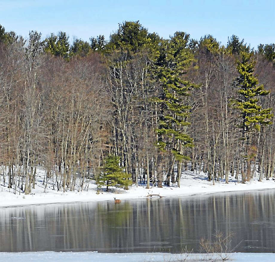 For three hours Friday morning, a deer was stuck on ice at the Mt. Higby Reservoir. She eventually make her way finally closer to shore, regained her footing, then pranced off into the woods off Route 66 on the Middletown/Middlefield line. Photo: Cassandra Day — The Middletown Press