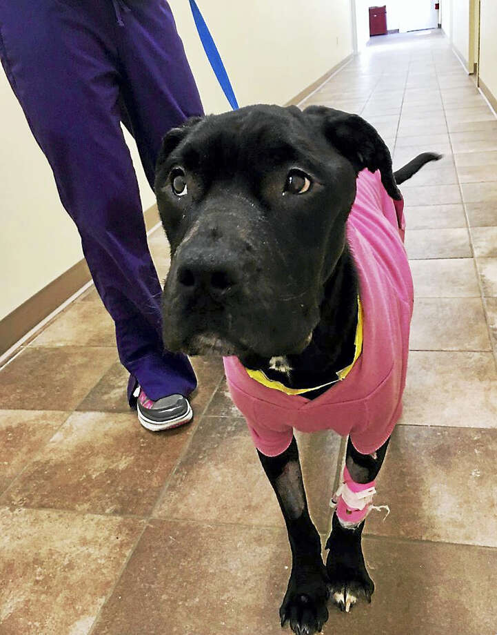 Hope, the emaciated pit/ lab mix found walking along U.S. Route 1 underwent an endoscopy Wednesday. Following the procedure, Laura Burban, director of the Dan Cosgrove Animal Shelter, said Hope is in high spirits. Photo: Photos Courtesy Of Laura Burban