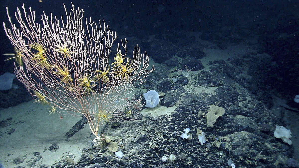 Corals on Mytilus Seamount off the coast of New England in the North Atlantic Ocean.