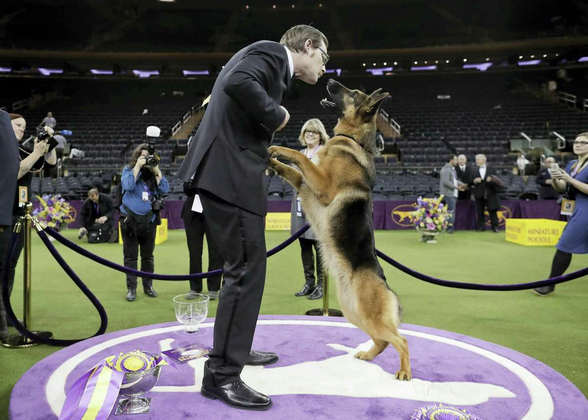 Rumor, a German shepherd, leaps to lick her handler and co-owner Kent Boyles on the face after winning Best in Show at the 141st Westminster Kennel Club Dog Show, early Wednesday in New York.