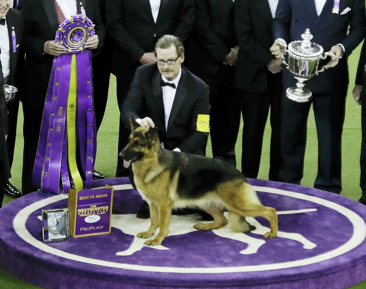 A handler poses for photographs with Rumor, a German shepherd, after Rumor won Best in Show at the 141st Westminster Kennel Club Dog Show on Tuesday, Feb. 14, 2017, in New York.