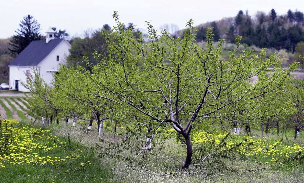In this Tuesday, May 9, 2017 photo, peach trees grow at Smolak Farms in North Andover, Mass. Peach orchards across the region have come alive with pink blossoms, and if the weather holds out, it could be a bumper harvest. Last year, a Valentine's Day frost essentially destroyed the New England and New York crop. An April cold spell severely damaged the New Jersey crop.