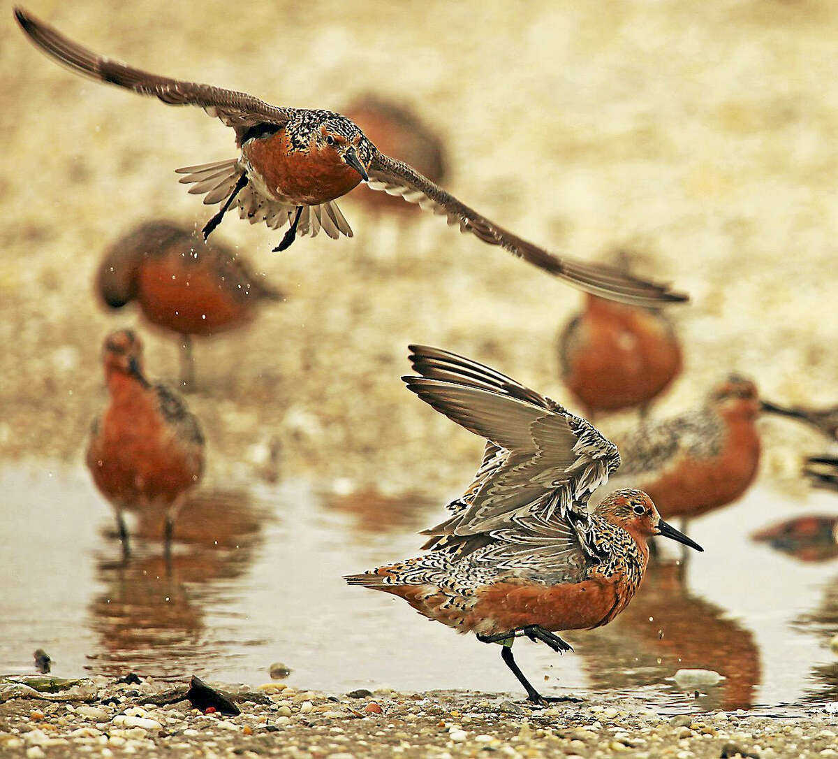 Red knots search for horseshoe crab eggs to eat.