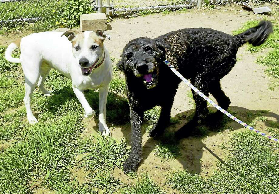 Cleo, left, a 7-year-old hound mix, and Pepper, 9-year-old Labradoodle, have been at the Cosgrove Animal Shelter in Branford for more than a month. The pair have always lived together and need to stay together. Photo: Peter Hvizdak — New Haven Register   / ©2017 Peter Hvizdak