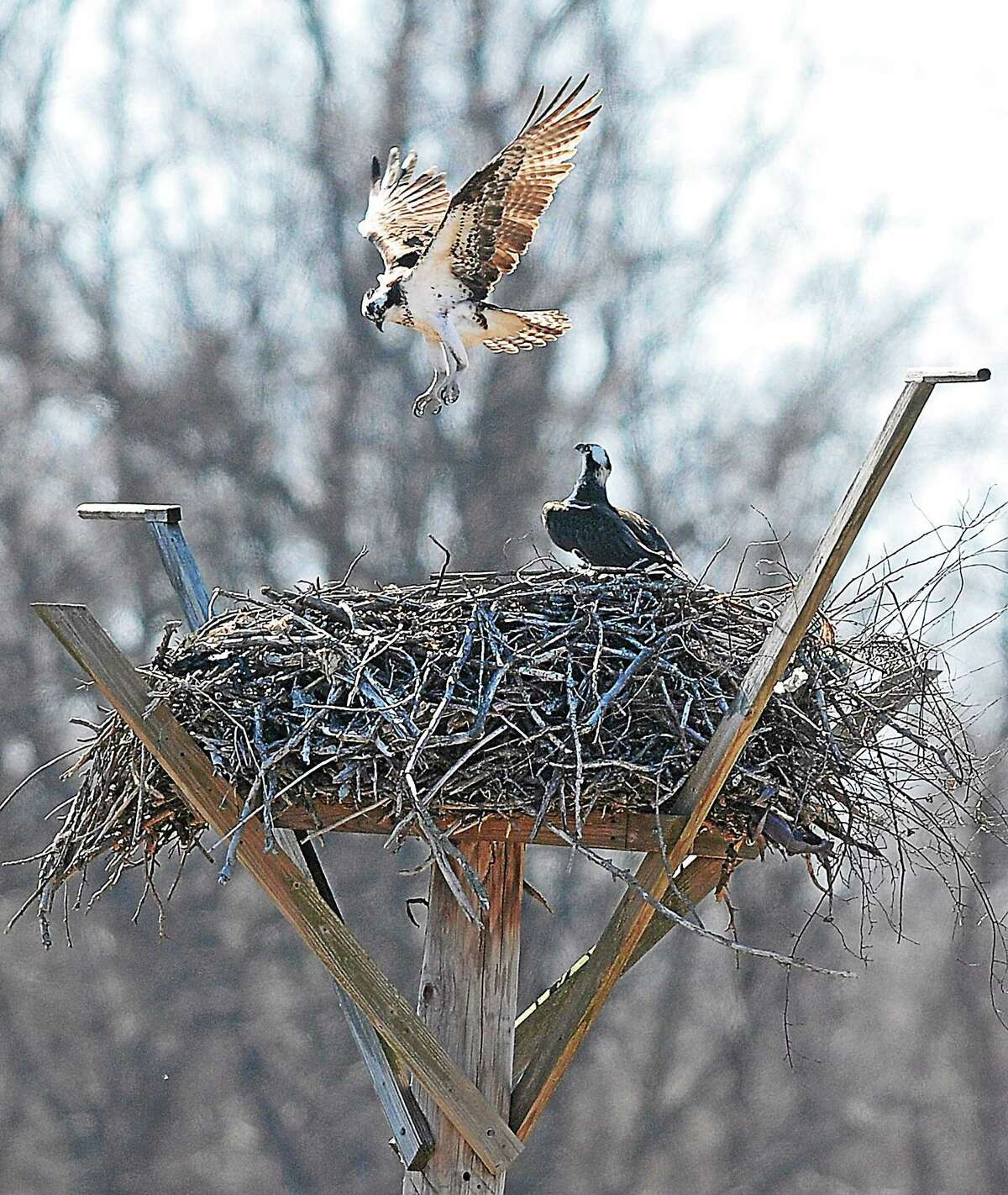 A pair of Ospreys prepare their nest to have young on a stand at the West River Memorial Park in New Haven in this 2014 file photo.