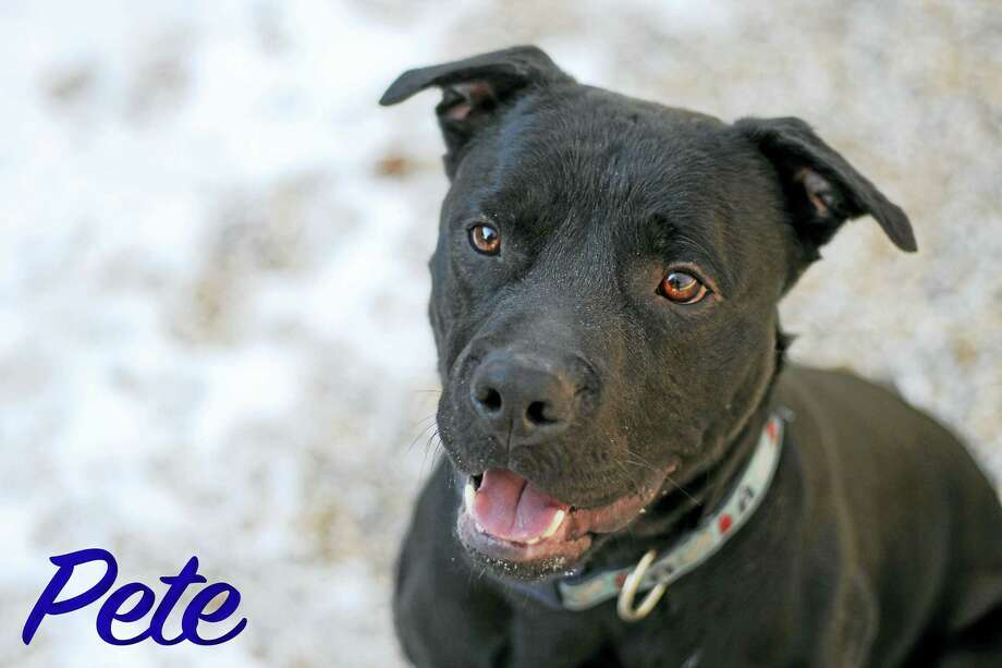 Pete, one of the dogs up for adoption this weekend at Pet Valu in Derby. Photo: CONTRIBUTED PHOTO — Jamie Koprek