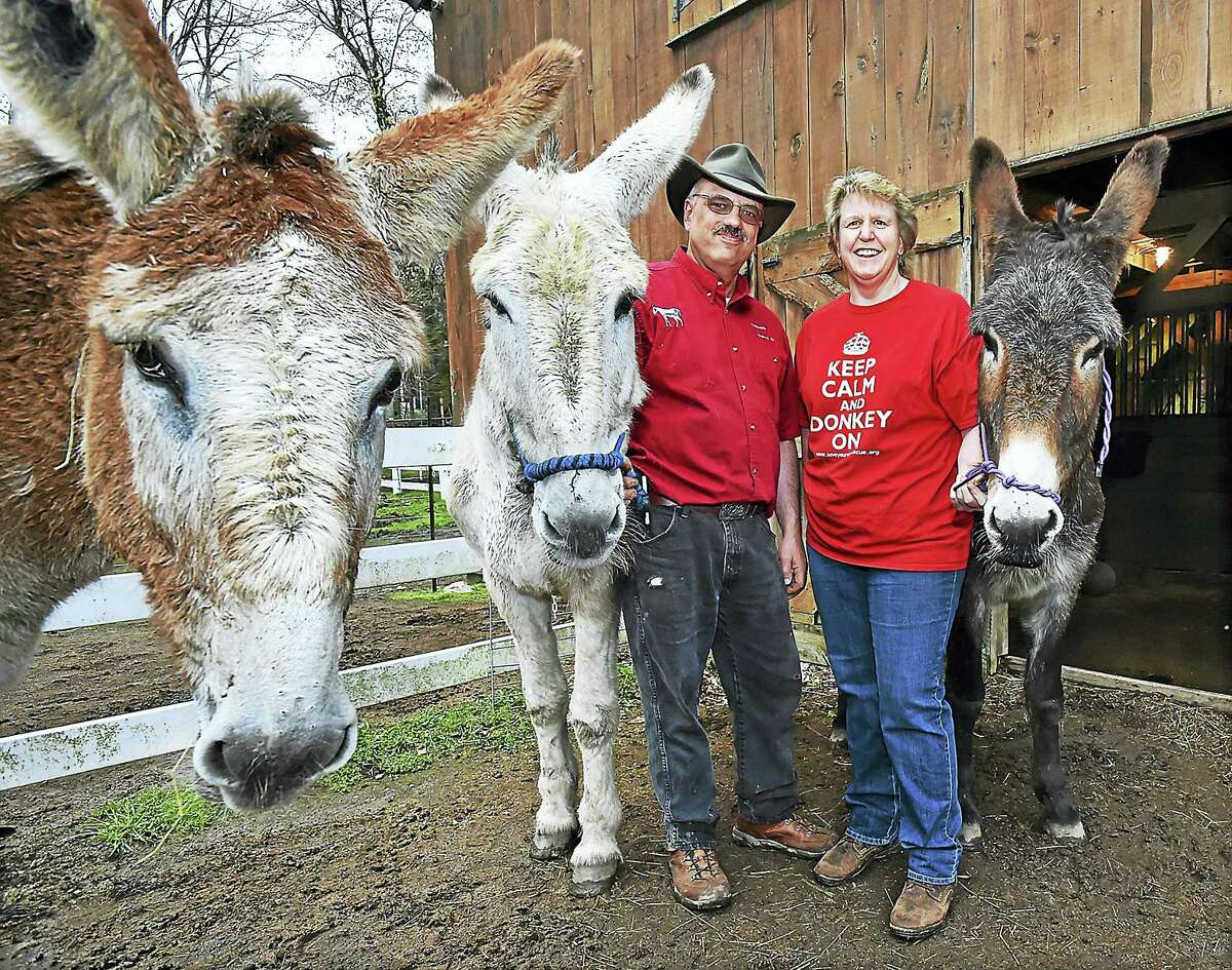 Sage, a 14-year-old mammoth donkey, at left, photo bombs a photograph, Wednesday, April 26, 2017, of Mike Capelli and Kim Dockett, owners of Tripledale Farm in Guilford, with mammoth donkeys, from left, Sandy, 19, and Kelby, 10. Tripledale Farm has three of 2,500 mammoth donkeys in the world, a species that is on the watch list for extinction. (Catherine Avalone - New Haven Register)