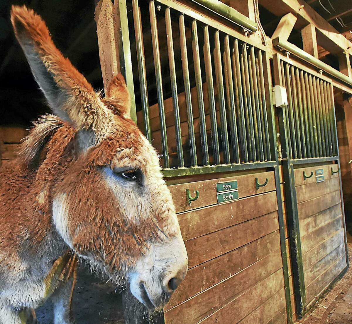 Kim Dockett and Mike Capelli, owners of Tripledale Farm in Guilford, Wednesday, April 26, 2017, have three of the 2,500 mammoth donkeys in the world, a species that is on the watch list for endagernment. (Catherine Avalone - New Haven Register)