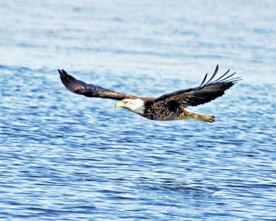 Maybe you'll be able to spot one of these majestic birds of prey. Eagle along the Connecticut River. Photo: Photo Courtesy Of Jack Faller   / © 2008Jack Faller?