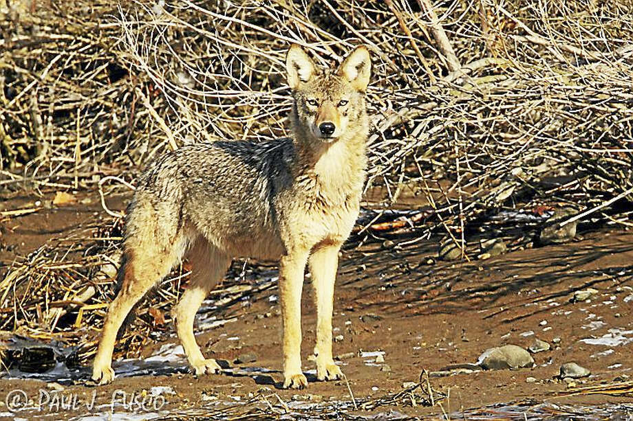 Keep your eye out for coyotes to protect your pet when outdoors or walking the animal. Pay attention, DEEP officials say. Photo: Photo Paul J. Fusco/ CT DEEP Wildlife