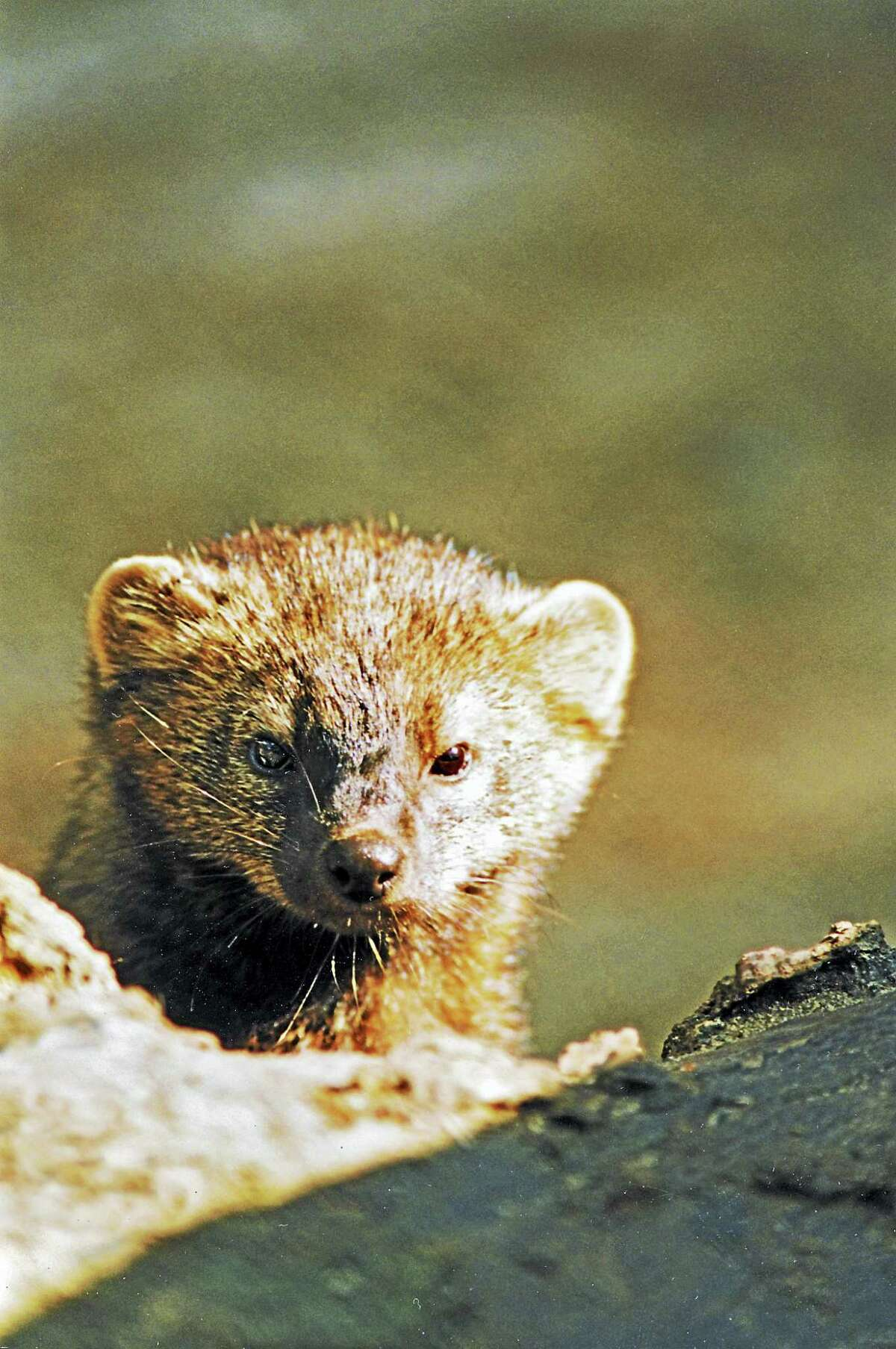 Fisher cats are less of a threat to your pets on the Shoreline than the common coyote.