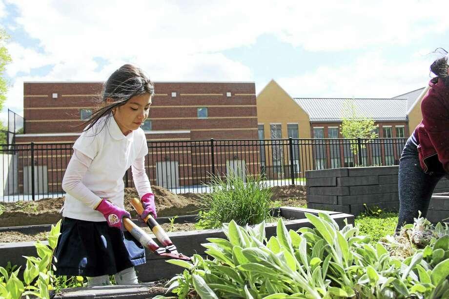 Alice Hoak, a second-grade student at Davis Street School, helps with the schoolyard habitat Wednesday. Photo: Anna Bisaro — New Haven Register
