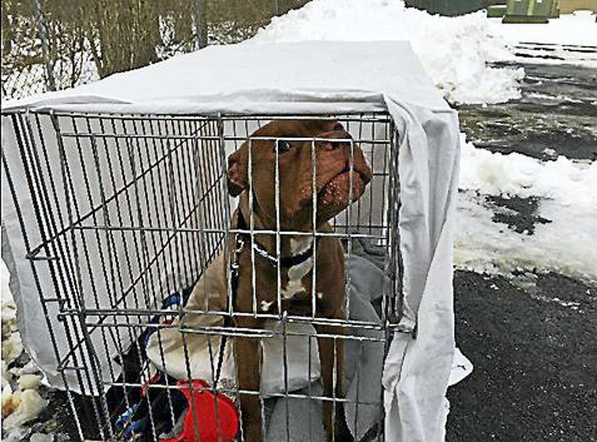 This pit bull was found abandoned inside a bottomless wire crate beside trash cans on Coe Avenue in East Haven Jan. 10.