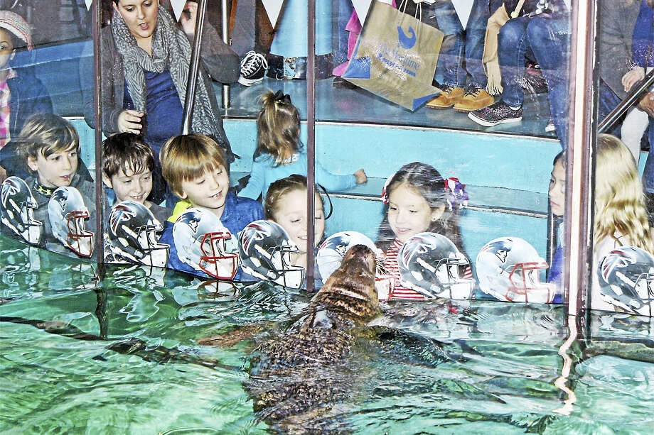 Orange, a harbor seal at The Maritime Aquarium at Norwalk, holds her nose against an image of a New England Patriots helmet, indicating her pick for Super Bowl LI. Photo: The Maritime Aquarium At Norwalk