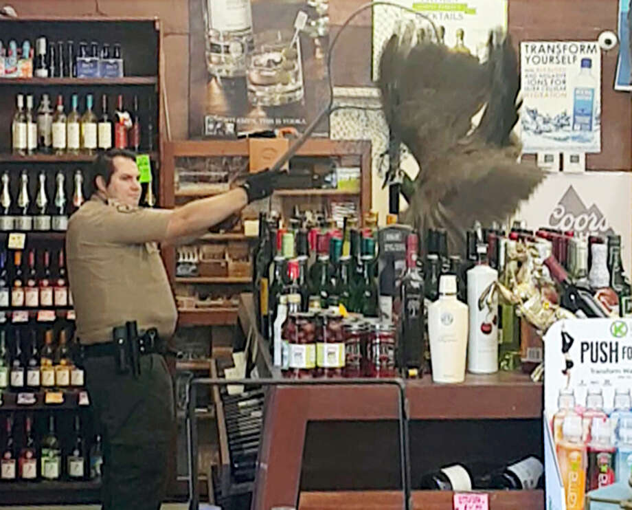 In this Monday, June 5, 2017 image made from cellphone video provided by Rani Ghanem, bottles tumble as an animal control officer attempts to net a female peacock that wound up inside the Royal Oaks Liquor Store in Arcadia, Calif. Store manager and college senior Rani Ghanem says he tried to guide the sharp-clawed bird outside but that she spooked, at one point flying directly toward him and then up onto a top shelf of the store. Photo: Rani Ghanem Via AP   / Rani Ghanem