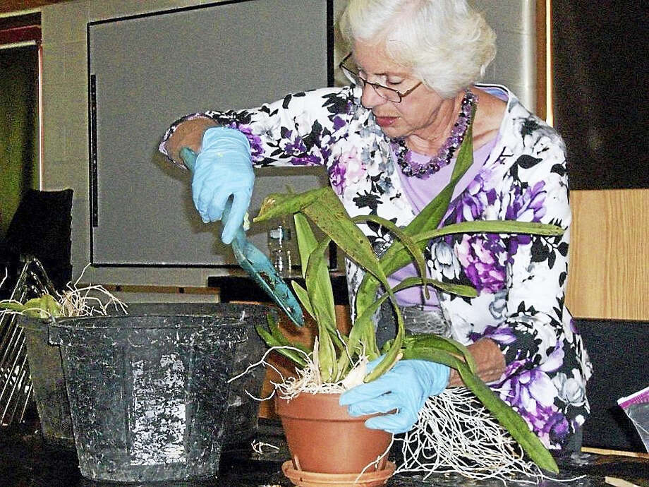 "The Wallingford garden Club will meet Jan. 10, 2017 at 11:30 am at the First Congregational Church, 23 South Main Street. Ronnie Schoelzel will present a program called ""Grow For Show"". This will be a detailed program on how to grow and prepare plant material for a flower show. Ronnie is a member of The Federated Garden Clubs of CT and has chaired the Horticulture Division for the State Flower Show in Hartford.   Table design will be done by Chris Walsh and Carolyn Heine. Hostesses are: Sue Collett, chair, and Bobbie Borne, Jacki Doty, Mary Ann Hall, Shirley Hall, Gloria Horbaty, Mary Ann Martindale, Viya Schenk, Natalie Scott, Carmelina Villani and Chris Walsh.  The Wallingford Garden Club is a member of The Federated Garden Clubs of CT, Inc. and the National GardenClubs,Inc. For more information, call Sue Collett at 203-269-1740 or visit our Facebook Page.  Pictured is Ronnie Schoelzel showing how to repot a plant. Photo: Digital First Media"