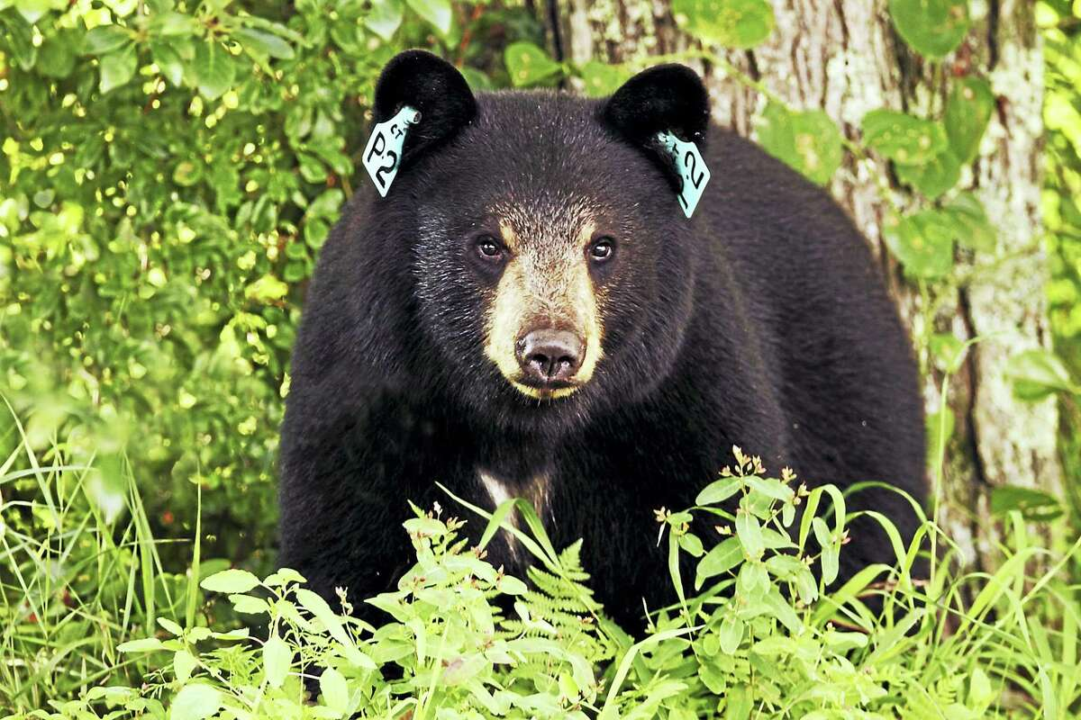 PHOTO BY PAUL J. FUSCO DEEP WILDLIFE DIVISION This is an example of the type of bear that lives in Connecticut. Every bear receives a tag in each ear the first time it is handled by DEEP.