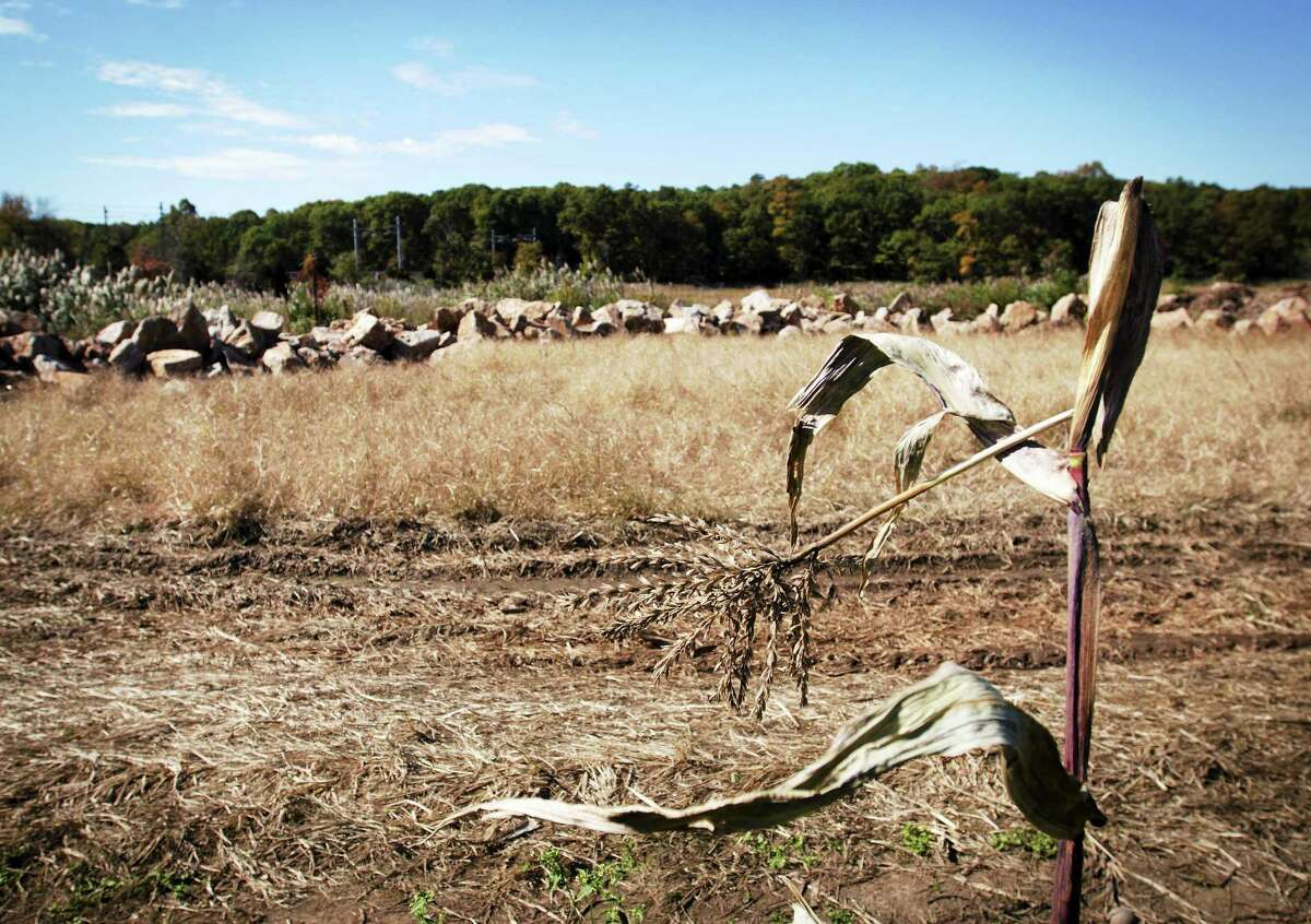 A withered ear of corn stands by a section of field ruined by saltwater flooding on Jay Medlyn's farm.