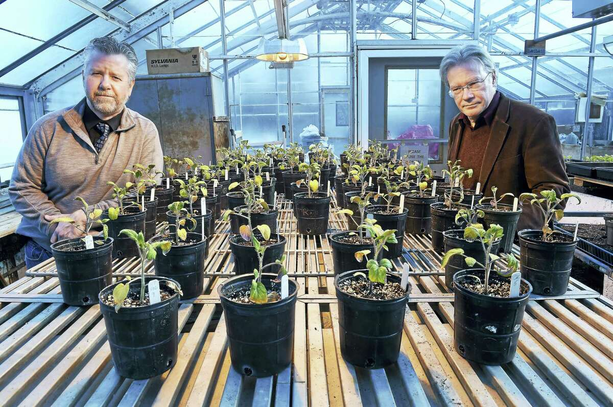 Jason White, left, vice director of the Connecticut Agricultural Experiment Station, and Wade Elmer, chief scientist of plant pathology and ecology, in a greenhouse at the Connecticut Agricultural Experiment Station in New Haven with Brandywine tomatoes that are part of their study on the effects of copper nanoparticles used in fertilizers.