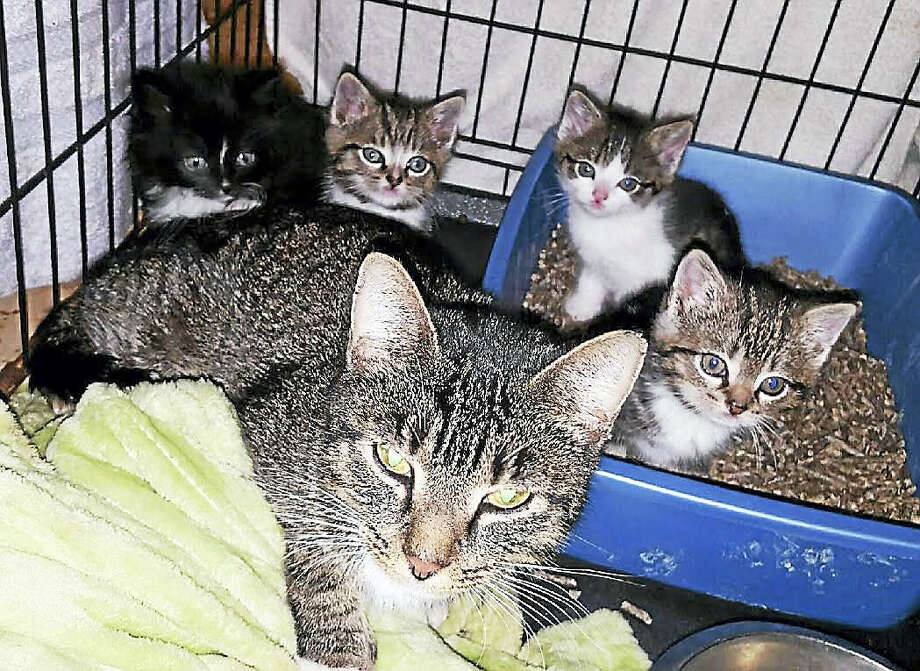 The mother rests with her four kittens after all five were rescued in Hamden. Photo: Contributed Photo — Super Paws Rescue, Inc.